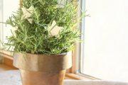 Фото 32 Средиземноморские ароматы круглый год: выращивание розмарина в квартире и его применение