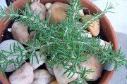Фото 33 Средиземноморские ароматы круглый год: выращивание розмарина в квартире и его применение