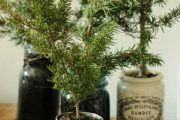 Фото 35 Средиземноморские ароматы круглый год: выращивание розмарина в квартире и его применение