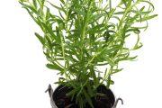 Фото 37 Средиземноморские ароматы круглый год: выращивание розмарина в квартире и его применение