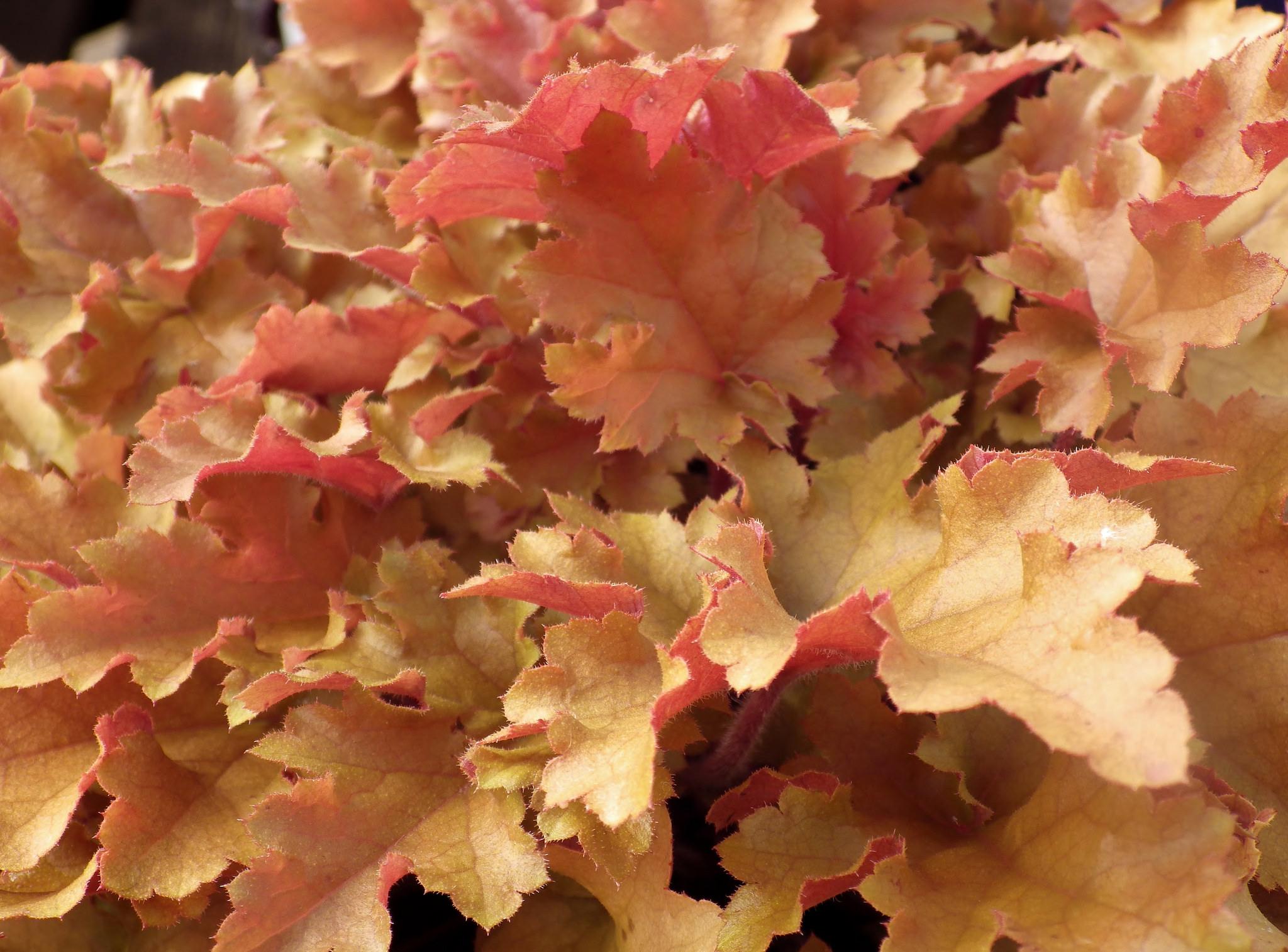 Гейхера фото выращивание 91