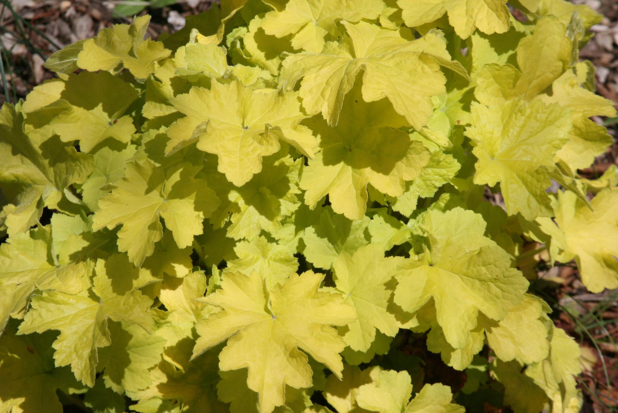 Гейхера фото выращивание 25