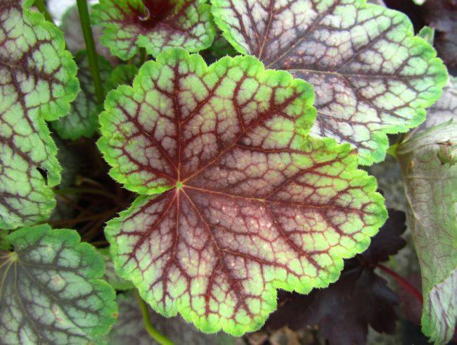 Аккуратные небольшие листья цилиндрической гейхеры отличаются контрастным окрасом: к примеру это может быть сочетание яркого зеленого с темно бордовым