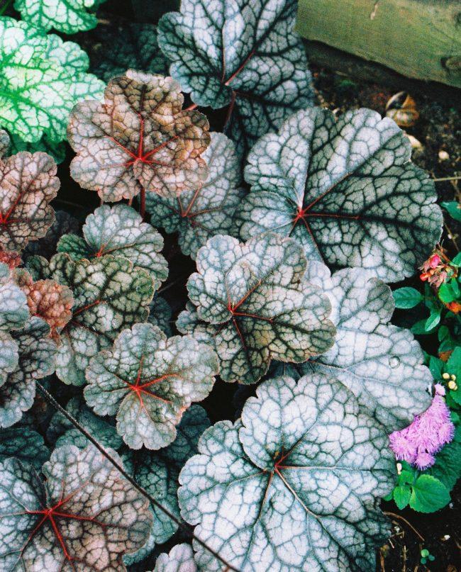 Гейхера - очень красивое декоративное растение. Среди изобилия видов вы сможете выбрать на любой вкус