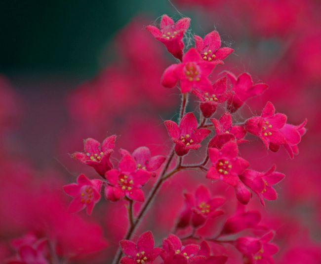 Так как цветоносы гейхеры могут достигать до 50 см, то после цветения их лучше обрезать, чтобы сухие стебли не портили внешний вид куста
