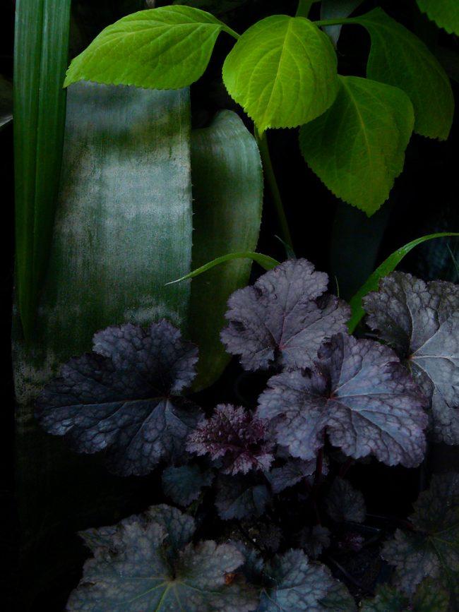 Вы можете найти виды, листья которых имеют практично пепельно черный цвет