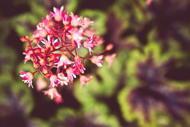 Цветонос гейхеры цилиндрического вида с ярко выраженными листьями зеленого цвета с характерными темными пятнами вдоль жилок