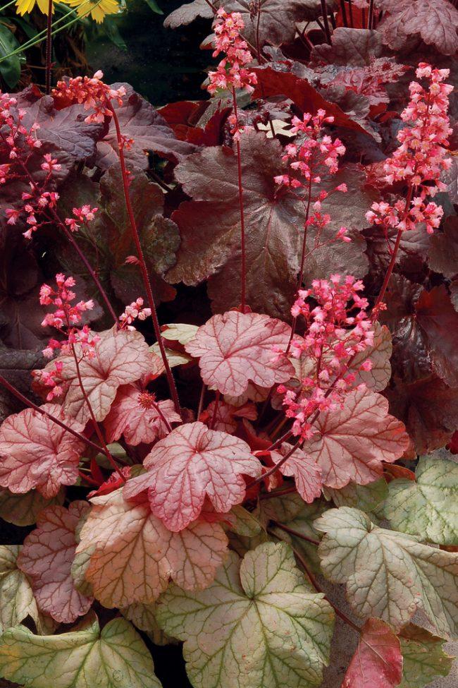 На кусте этого сорта вы сможете наблюдать листья разных цветов и оттенков в период смены палитры