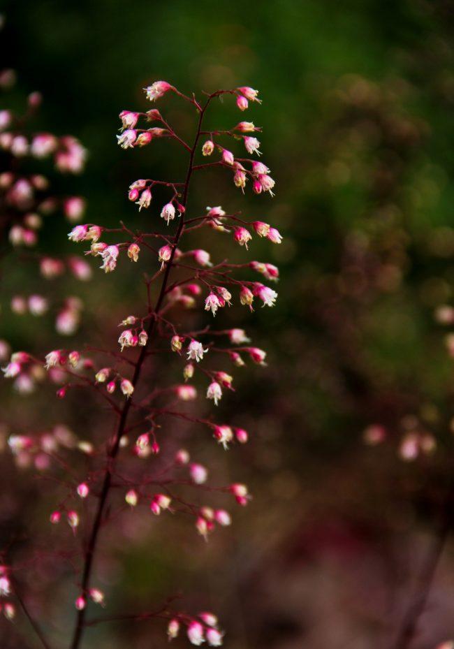 Мелкие цветы на цветоносах гейхеры сорта пурпурный замок имеют белый цвет с розоватым акцентом на цветоложе