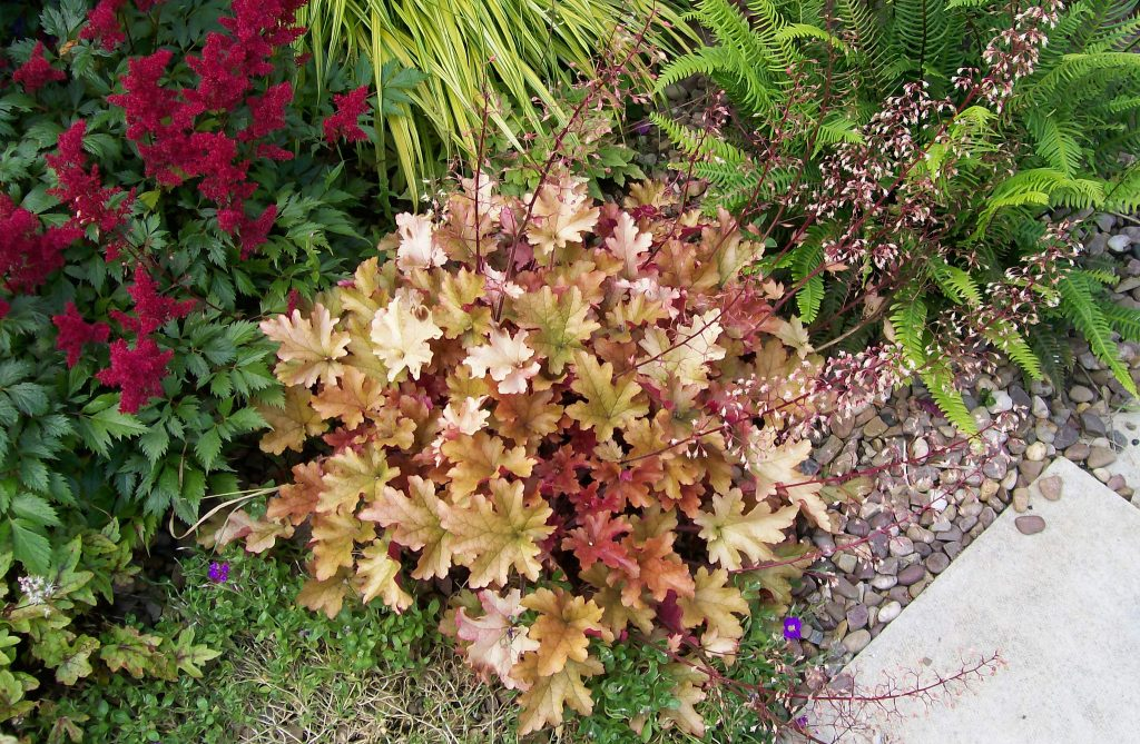 Цветок гейхера посадка и уход в