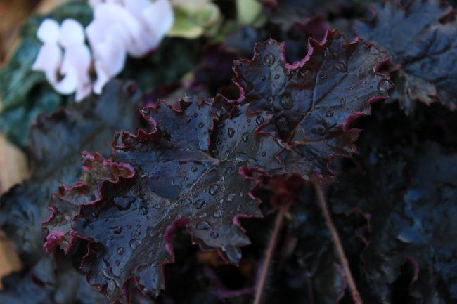 Очень красивый глубокий темно бордовый цвет листьев. Такая гейхера станет изюминкой практически любой композиции
