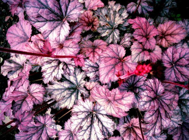 Необычные цвета листьев гейхеры будут приковывать взгляды ваших гостей