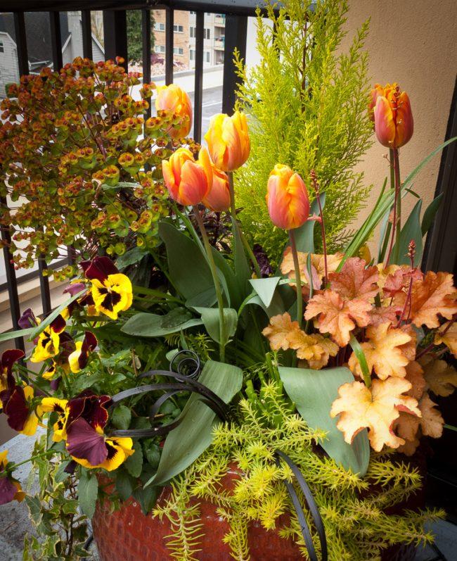 Гейхера сможет дополнить практически любую композицию из декоративных цветов