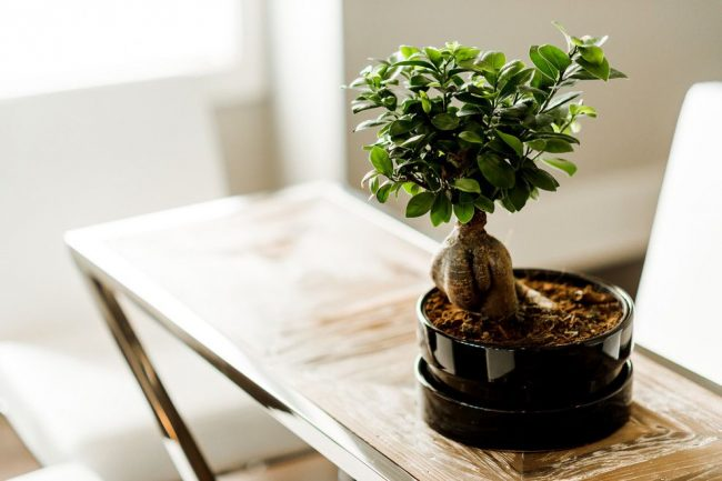 Небольшое дерево бонсай красиво смотрится в современном интерьере