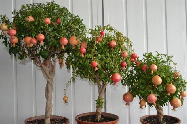 Карликовые Деревья для Дома Выбор и Советы Экспертов 2017