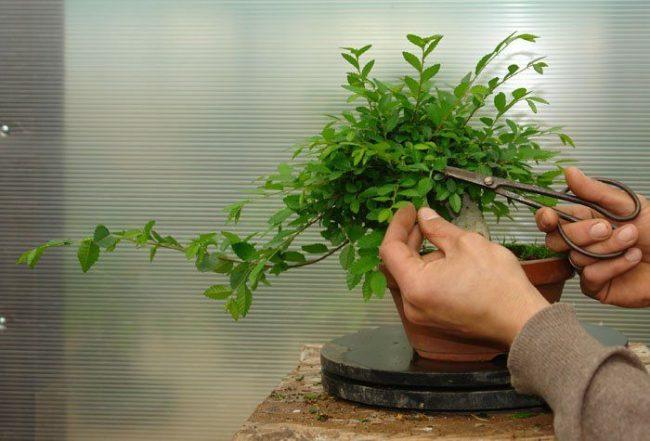 Придание определенного внешнего вида карликовому дереву с помощью ножниц