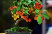 Фото 40 Карликовые деревья для дома: особенности ухода и 80 уютных вариантов
