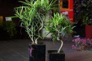 Фото 39 Карликовые деревья для дома: особенности ухода и 105+ уютных вариантов