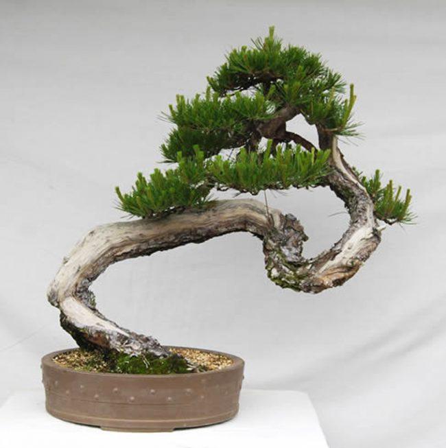 Извилистый ствол дерева Шакан делает эту породу неповторимой