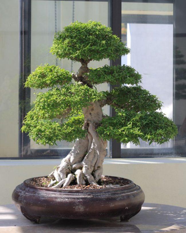 Роскошное симметричное дерево Майоги