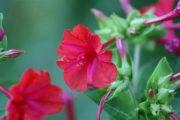 Фото 3 Ночной цветок мирабилис: все, что нужно знать о сортах, посадке и уходе