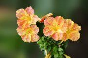 Фото 17 Ночной цветок мирабилис: все, что нужно знать о сортах, посадке и уходе
