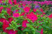 Фото 18 Ночной цветок мирабилис: все, что нужно знать о сортах, посадке и уходе