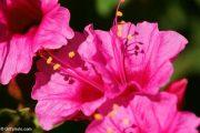 Фото 4 Ночной цветок мирабилис: все, что нужно знать о сортах, посадке и уходе