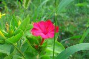 Фото 19 Ночной цветок мирабилис: все, что нужно знать о сортах, посадке и уходе