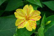 Фото 21 Ночной цветок мирабилис: все, что нужно знать о сортах, посадке и уходе