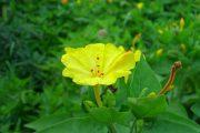 Фото 22 Ночной цветок мирабилис: все, что нужно знать о сортах, посадке и уходе