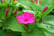 Фото 24 Ночной цветок мирабилис: все, что нужно знать о сортах, посадке и уходе