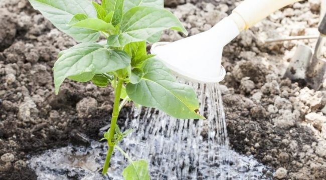 Процесс полива ростков мирабилиса