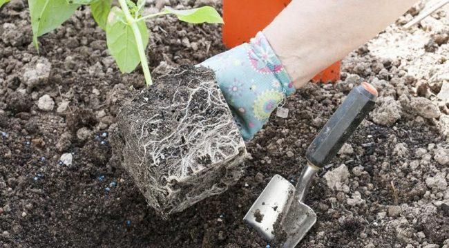 После появления корней мирабилис можно высаживать на клумбе