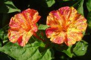 Фото 27 Ночной цветок мирабилис: все, что нужно знать о сортах, посадке и уходе