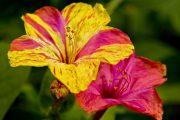Фото 5 Ночной цветок мирабилис: все, что нужно знать о сортах, посадке и уходе