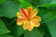 Фото 30 Ночной цветок мирабилис: все, что нужно знать о сортах, посадке и уходе