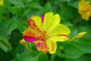 Фото 31 Ночной цветок мирабилис: все, что нужно знать о сортах, посадке и уходе