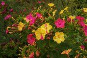 Фото 32 Ночной цветок мирабилис: все, что нужно знать о сортах, посадке и уходе
