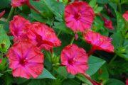 Фото 33 Ночной цветок мирабилис: все, что нужно знать о сортах, посадке и уходе