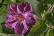 Фото 34 Ночной цветок мирабилис: все, что нужно знать о сортах, посадке и уходе