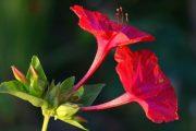 Фото 36 Ночной цветок мирабилис: все, что нужно знать о сортах, посадке и уходе