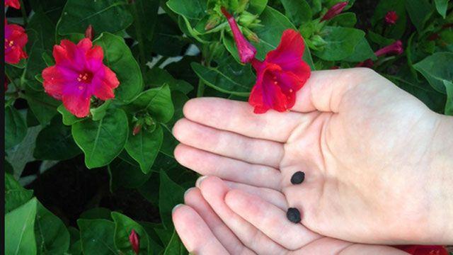 Сбор семян мирабилиса
