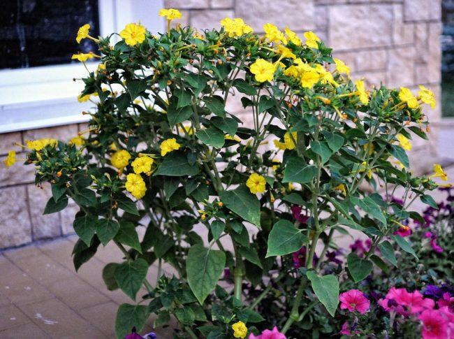 Яркие кусты мирабилиса могут стать цветовым акцентом в саду