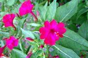 Фото 38 Ночной цветок мирабилис: все, что нужно знать о сортах, посадке и уходе