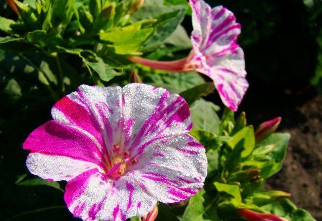 """Пестрые цветки мирабилис сорта """"Иоланта"""""""