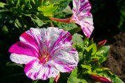 Фото 39 Ночной цветок мирабилис: все, что нужно знать о сортах, посадке и уходе