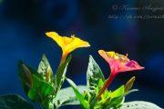Фото 41 Ночной цветок мирабилис: все, что нужно знать о сортах, посадке и уходе