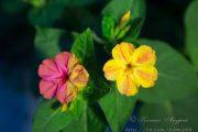 Фото 42 Ночной цветок мирабилис: все, что нужно знать о сортах, посадке и уходе