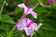 Фото 43 Ночной цветок мирабилис: все, что нужно знать о сортах, посадке и уходе